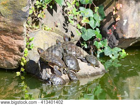 Many Pond Slider Turtles Sunning On A Rock In Murky Pond Water, Tall Rocks Piled Behind With Green I