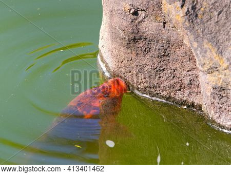 Koi Or Nishikigoi, A Variety Of Amur Carp In Outdoor Koi Pond, Murky Green Water From Overgrowth Of
