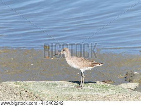 One Willet, A Relatively Large And Robust Sandpiper, Standing On A Flat Rock In Front Of A Pond Of W