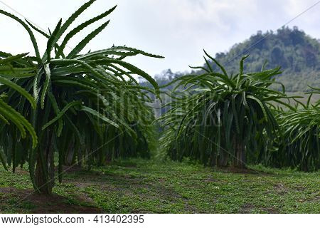 Early Varieties Dragon Fruit Plants In Garden. Field Of Fruit Tree Planting (dragon Fruit) In Thaila