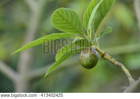 Budding Avocado Tree, Baby Fruit On Tree, Fruit Set Avocado Tree, Green Leaves, Green Fruit, Close U