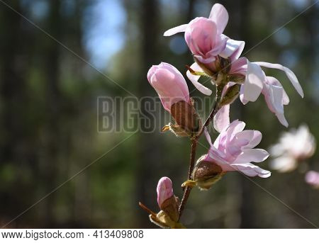 Pretty Light Pink Budding Magnolia Tree With Multiple Buds.