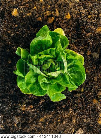 Single Rich Green Butter Lettuce Salads In Middle Of Frame And Viewed From Above. They're Planted In