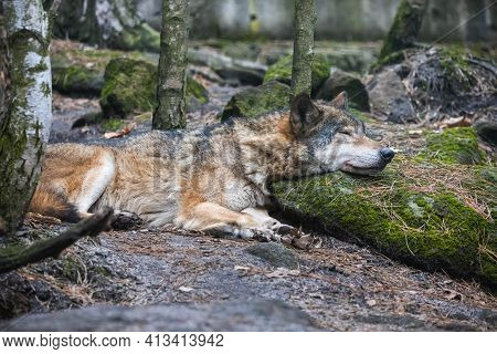 Gray Wolf Sleeping With Its Head On The Mossy Stone. Beautiful Predator Timber Wolf (canis Lupus) Ly