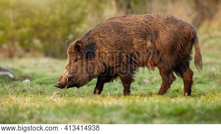 Wild Boar Male With Long White Tusks Peeking From Snout In Springtime Nature