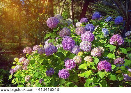 Multicolored  Flowers Of Hydrangea  (  Hydrangea Macrophylla ) In Park. Montenegro, Tivat