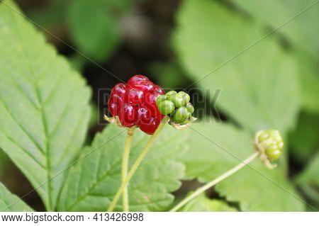 Tiny Dwarf Wild Raspberries Grow On The Forest Floor.