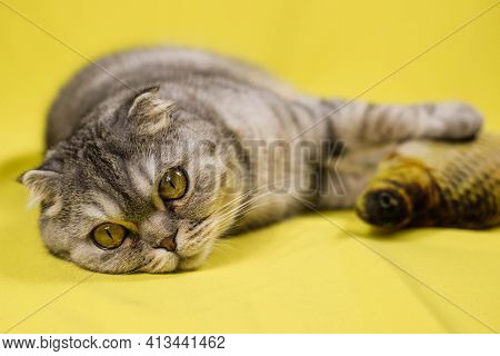 A Cute Grey-striped Scottish Fold Cat Lies With Its Favorite Stuffed Fish Toy. A Cat With A Favorite