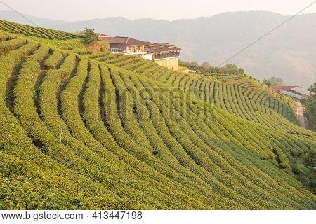 The Tea Plantations Background , Tea Plantations In Morning Light