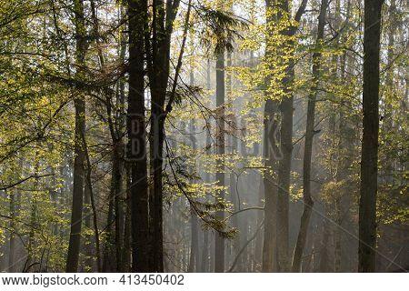 Deciduous Forest In Springtime Sunrise