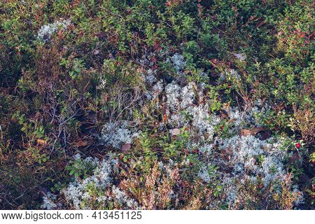 Closeup Of Reindeer Moss, Lichen, Twigs And Pine Needles, With Mossy Texture Background. Arctic Bore