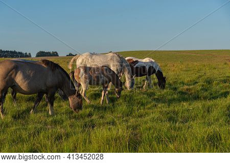 Creole Horses Feeding On An Equine Farm In The State Of Rio Grande Do Sul In Brazil.