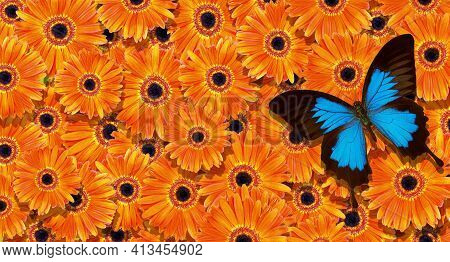 Bright Summer Background. Blue Tropical Butterfly On Bright Orange Gerbera Flowers. Colorful Gerbera