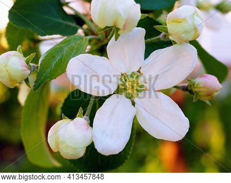 White Apple Flower At Sunset Close-up. Petals, Pistils, Stamens, Buds And Leaves. A Blooming Fruit T