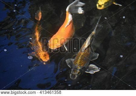 Trio Of Stunning Koi Fish In A Pond.