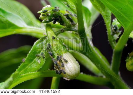 Chilli Aphids Sucking The Cell Sap From The Plant And Flower Bud. Aphids Damage To The Chillies Are