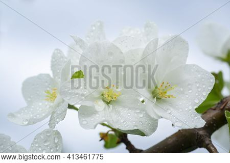 White Inflorescences Of Apple Flowers In Raindrops. Blooming Apple Tree. Macro.