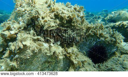 Black Scorpionfish (scorpaena Porcus) Undersea, Aegean Sea, Greece, Halkidiki