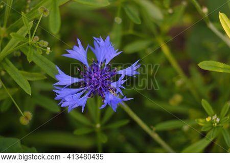 View Of A Blue Flowering Cornflower In Spring