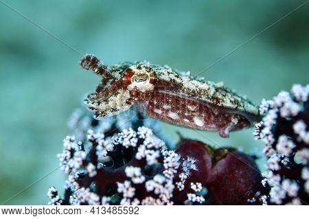 Juvenile Broadclub Cuttlefish (sepia Latimanus, Aka Reef Cuttlefish) Over A Coral. Triton Bay, West
