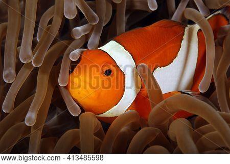 Clown Anemonefish (amphiprion Ocellaris, Aka Ocallaris Clownfish) In Anemone. Raja Ampat, Indonesia