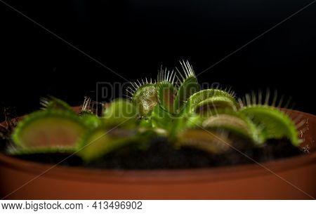 Potted Carnivorous Plant - Dionaea Muscipula Or Venus Flytrap.