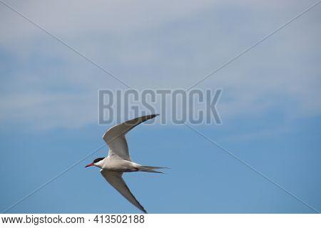 Arctic Tern, Sterna Paradisaea In Flight Against Cloudy Sky