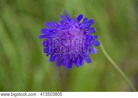 Bluebottle Also Cornflower In German Kornblume Also Zyane Cyanus Segetum Also Centaurea Cyanus
