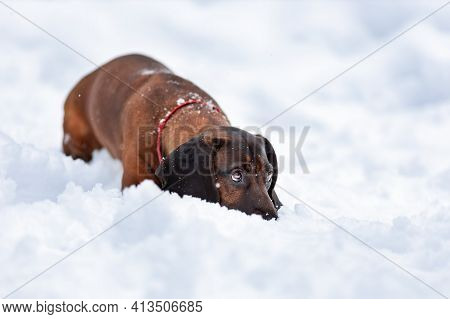 Young Bavarian Mountain Hound Dog Lying Down On Snow At Winter Nature