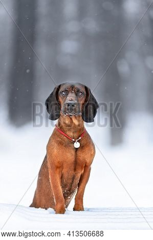 Young Bavarian Mountain Hound Dog Posing At Winter Nature On Snow
