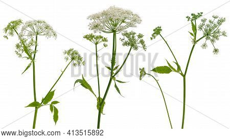 Few Stems Of Forest Plants Witn Umbrella Inflorescences Isolated On White Background