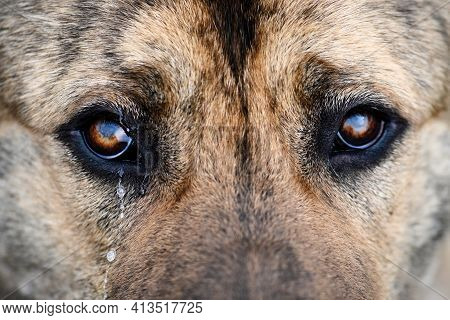 Middle-asian Shepherd Close-up Brown, Looks Wistfully And Cries. Sad Dog With Tears In His Eyes. A L