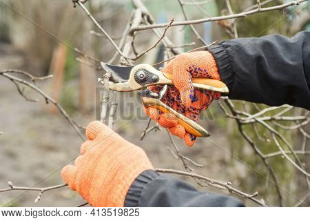 Gardener Is Pruning Branches With Pruning Shears. Spring Plant Pruning. Spring Gardening Work.