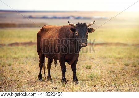 Portrait Of A Large Beautiful Bull, Brown In Color, Standing In A Field. Cattle. A Huge Bull Is Graz