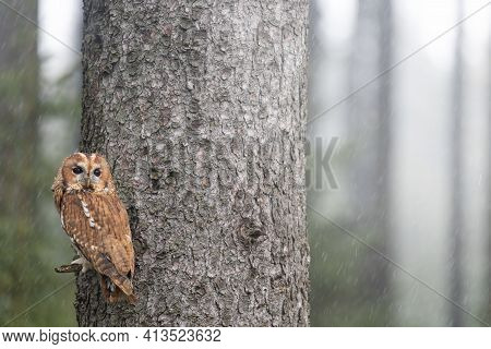 Tawny Owl Is Posing On A Tree Branch In Falling Snow.