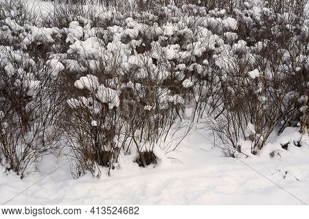 Branching Bushes Close-up And Under Snow Caps In The Park Or In The Forest For The Winter Landscape