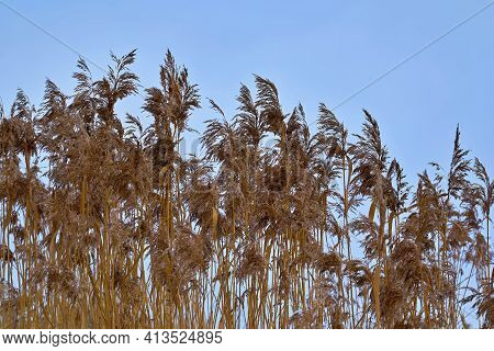 Large And Fluffy Reed Or Swamp Brown Grass Closeup Against A Blue Sky