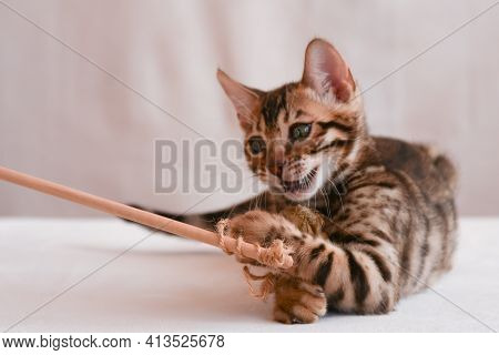 The Kitten Plays With A Toy. The Gambling Animal Hunts. Sharp Claws Dug Into Prey