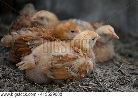Several Brown Chickens Of The Breed Of Broiler Sasso Xl 551, Sit On A Mat In The Chicken Coop And Re