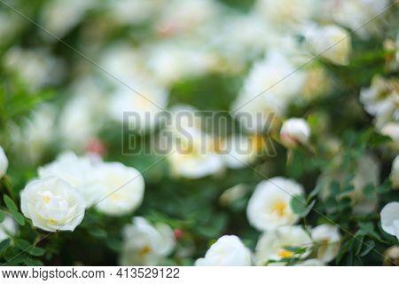 Wild White Roses Bush Rosehip Defocused Stylish Background