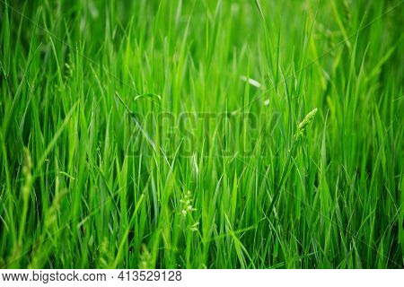 Fresh Spring Grass Nature Background Purity Freshness Tranquility Concept