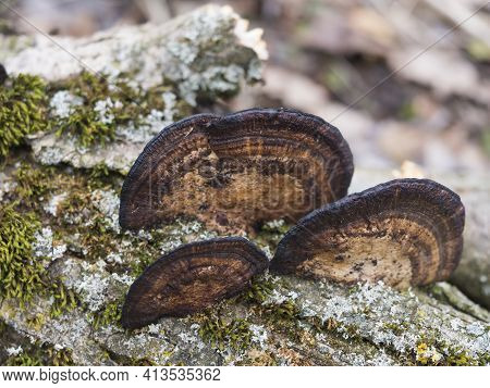 Close Up Group Of Fomitopsis Pinicola. Red Belt Conk Or Red Belted Bracket Fungus, Growing On A Dead