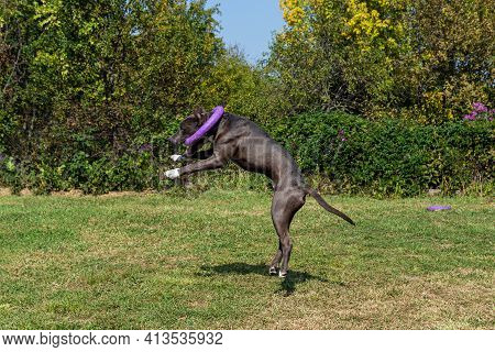 The Handsome American Staffordshire Terrier Playing Outdoor .