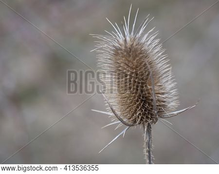 Close Up Of Dry Thistle Flowerhead. Dipsacus Sativus, Wild Teasel Dried Head In Nature, Selective Fo