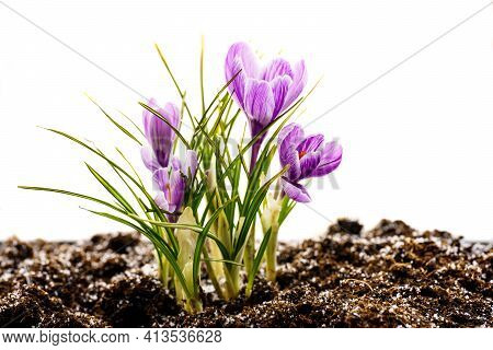 Crocus Flowers On Stem With Leaves Isolated On White Background