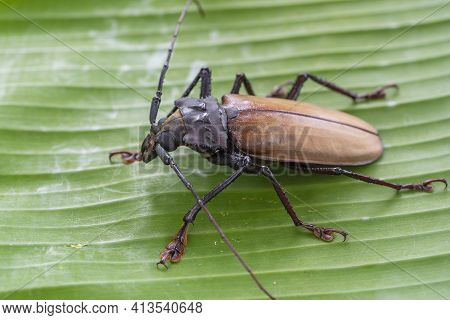 Giant Fijian Longhorn Beetle From Island Koh Phangan, Thailand. Close Up, Macro. Giant Fijian Long H