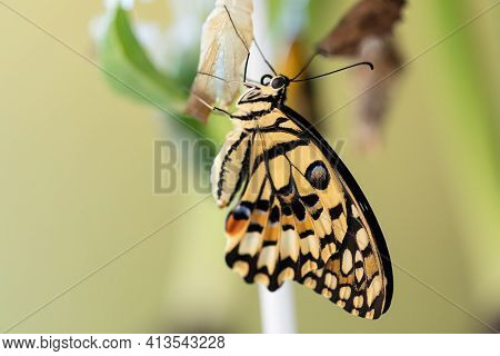 Papilio Machaon Is A Large Tropical Butterfly That Hatched From A Cocoon And Sits Clinging To It, Dr