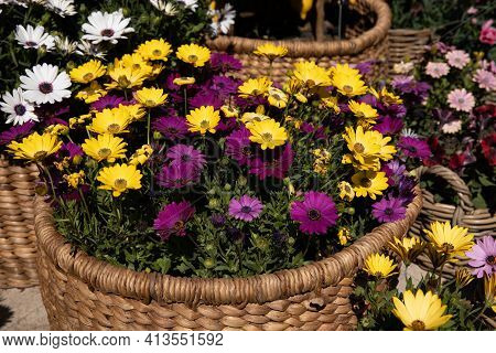 Full Basket With Beautifully Blooming Dimorphoteca Or African Daisies In Purple And Yellow Colors Po