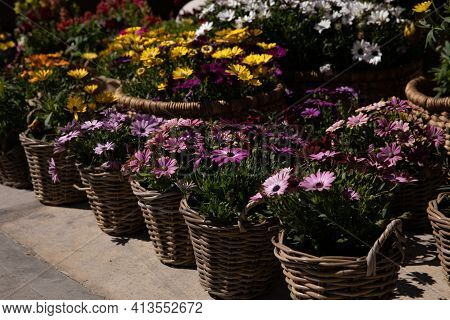 Variety Of Baskets Full With Beautifully Blooming Dimorphoteca Or African Daisies In Purple, Yellow,