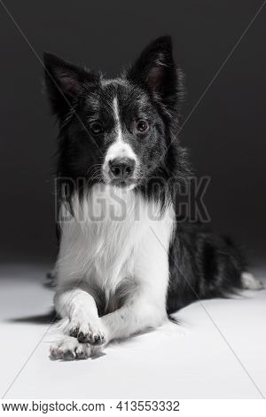 Portrait Of A Funny And Obedient Dog. She Lies With Her Paw On Her Paw. Border Collie Breed.